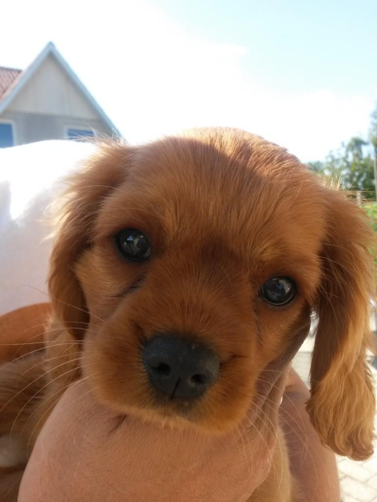 Topnuttede lille chokoladebrune Kalle siger hej til dig!