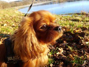 Kallehunden - en kærlighedserklaring