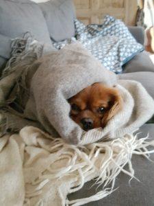 Kallehunden - en kærlighedserklaring til den nuttede Cavalier