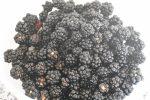 Makronmuffins med brombær - makronkager